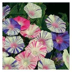 Carnevale di Venezia Morning Glory 35 Seeds Patio, Lawn