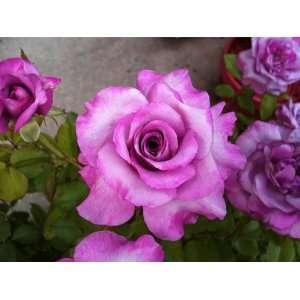 Shocking Blue Rose Seeds Packet Patio, Lawn & Garden