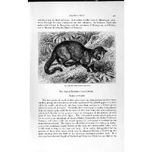 NATURAL HISTORY 1893 94 CHINESE PALM CIVET WILD ANIMAL