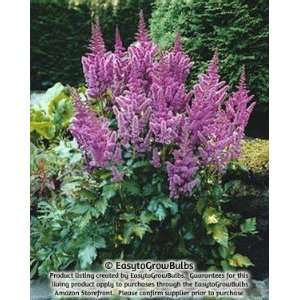 Astilbe Vision   1 plant   3 5 eye bare root plants Patio
