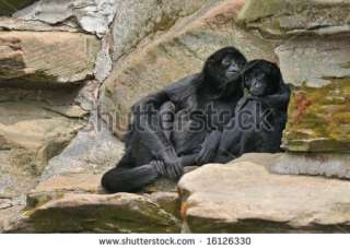 Colombian Black Spider Monkeys (Ateles Fusciceps Robustus) Share A